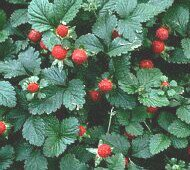 photo of mock strawberry plants*